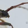 Phoracantha cf laetabilis  (male)