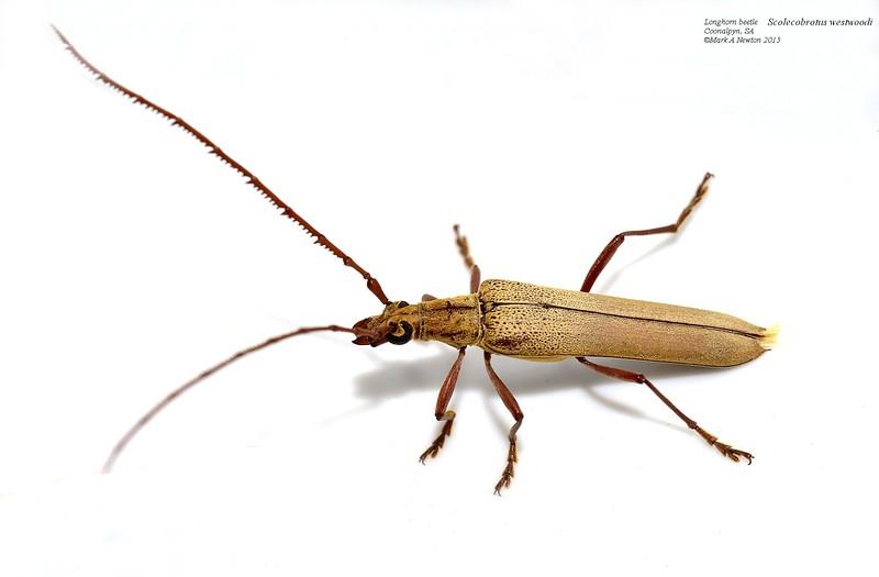 Scolecobrotus westwoodii