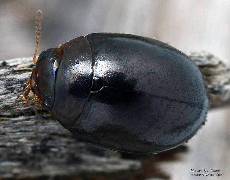 Philhydronopa aeneipennis