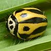 Micraspis furcifera     (Tentative ID)