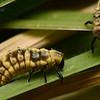 Micraspis furcifera  (larval stage)