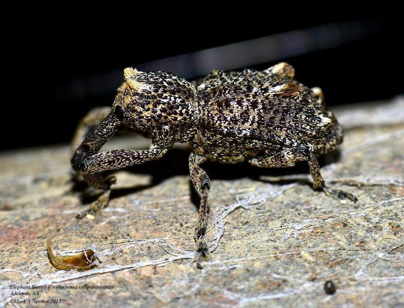 Orthorhinus cylindrirostris (Elephant Beetle)