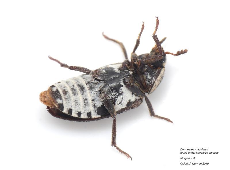 Dermestes maculatus  (8mm, size seemed variable))