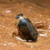 Eretes australis  (male)