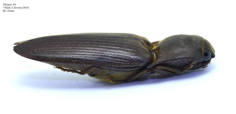Pseudotetralobus sp