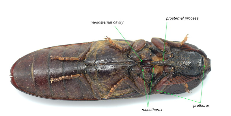 Click beetle jumping mechanism : Elateridae
