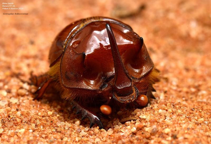 Blackburnium sp. cf. sloanei