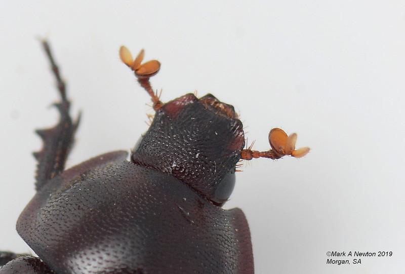 Liparochrus (Liparochrus) rufus (8mm)
