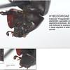 Liparochrus sp cf septentrionalis (geminatus group)  Liparochrinae  (5mm)