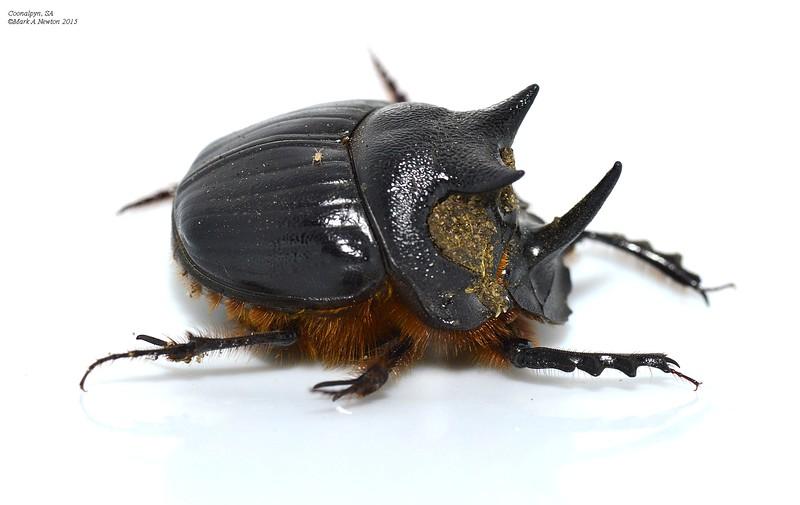 Onthophagus mniszechi (male)