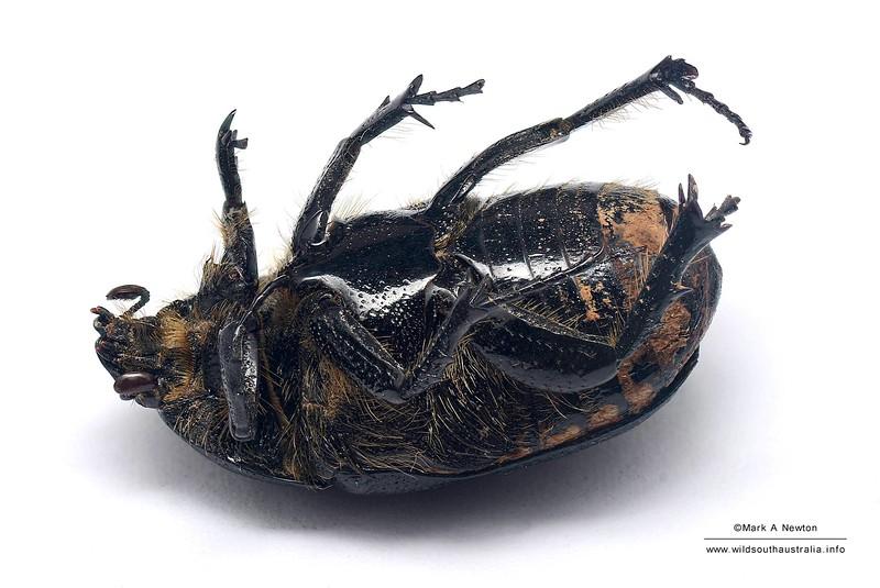 Diaphonia dispar (female, found deceased)
