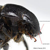 Gnaphalopoda porosa