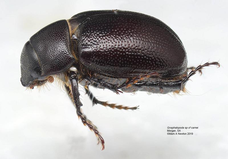 Gnaphalopoda sp1 (possibly undescribed)