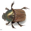 Onitis alexis  (Alexis dung beetle) . Introduced species.