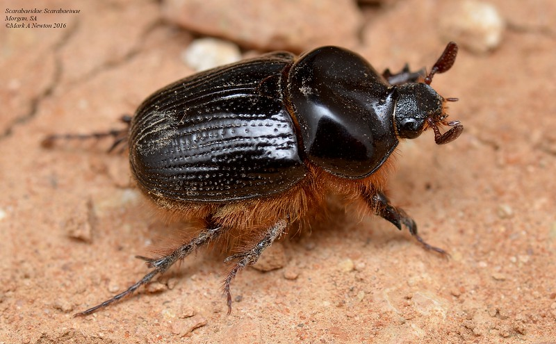 Dung beetle - unidentified