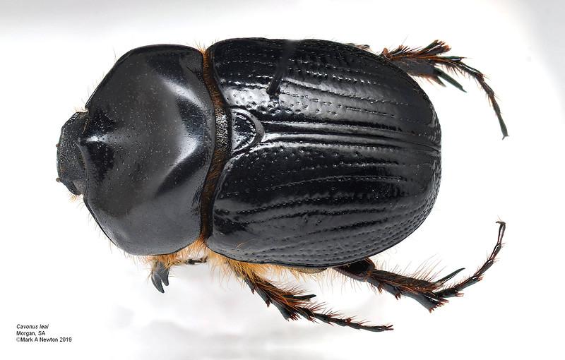 Cavonus leai (16mm)
