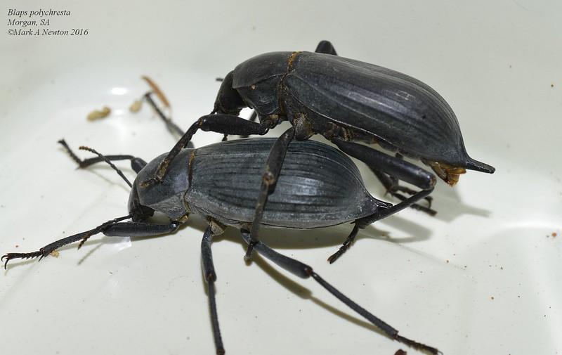 Blaps polychresta - Egyptian Beetle