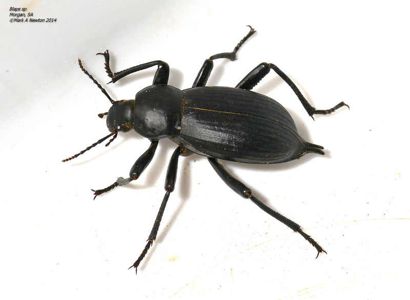 Blaps polychresta - Egyptian Beetle