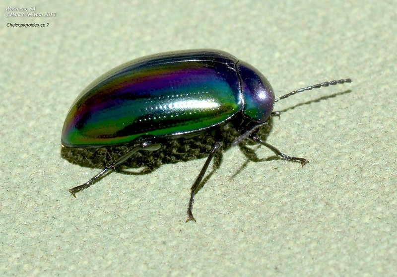 Chalcopteroides sp