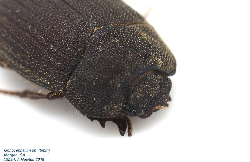 Gonocephalum sp1 (6mm)