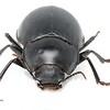 Nyctozoilus sp (tentative ID)