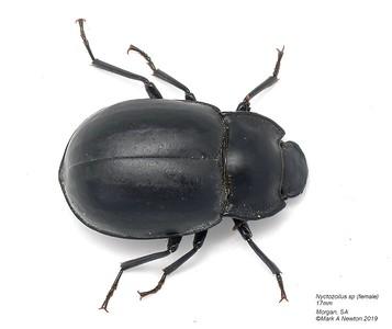 Nyctozoilus sp1 (female)