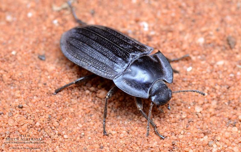 Pterohelaeus sp