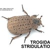Trogidae Stridulation    (Omorgus euclensis)