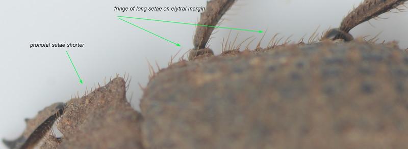 Omorgus sp. aff. perhispidus   (8mm)