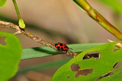 9-spotted Leaf Beetle