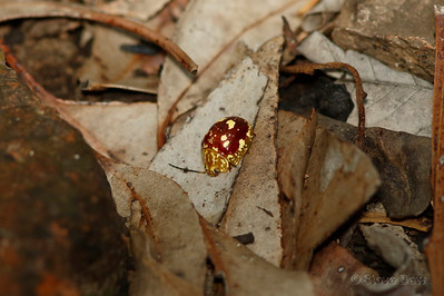 Spotted Paropsine Beetle