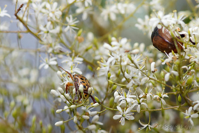 Spotted Flower Chafer