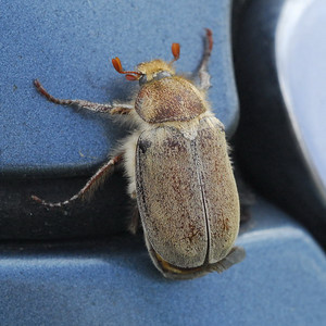 Dusty June Beetle, Coronado, CA