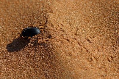 Pie Dish Beetle