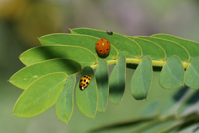 Asian Ladybird Beetle &