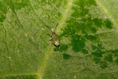 Stinging Tree Leaf Beetle
