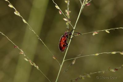 Brown Darkling Beetle