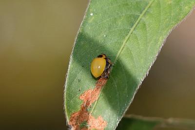 Three-banded Ladybird