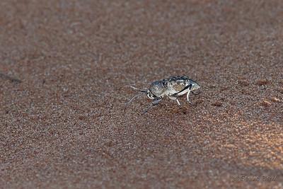 Desert Longicorn