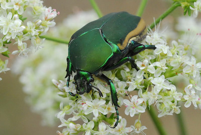 Green Fig Beetle