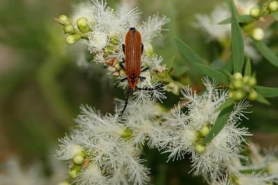 Lycid Beetle