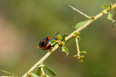 Pittosporum Beetles