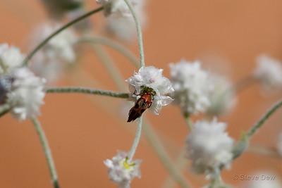 Wedge-shaped Beetle