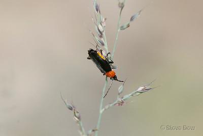 Tricolor Soldier Beetle