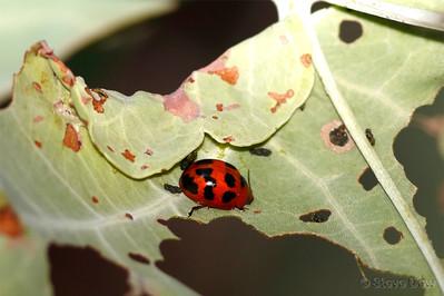 Paropsine Leaf Beetle