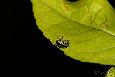 Sida Leaf Beetle