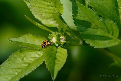 Variable Ladybird