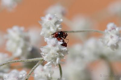 Wedge-shaped Beetles