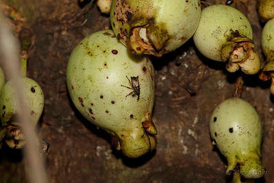 Unknown Weevil on Bumpy Satinash Fruit
