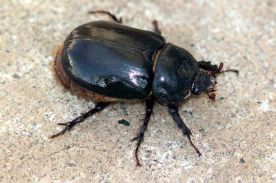 Ox Beetle (Strategus aloeus ) Patagonia AZ